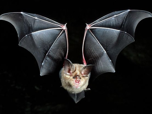 Bat Music - Harmonics and horseshoe bats
