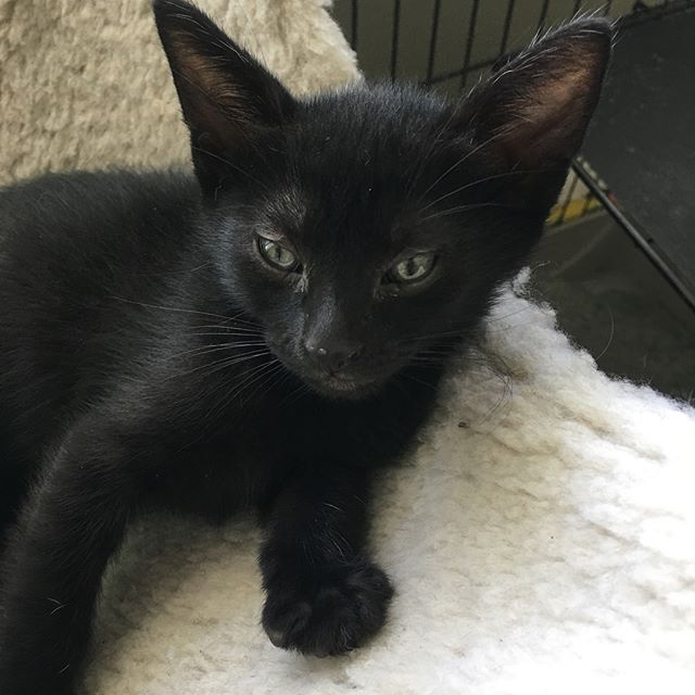This little boy is going to be ready for a home any day!! #feralkittens #adoptdontshop