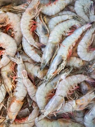 Le début de la saison côtière de chevrettes: les pêcheurs espèrent une meilleure saison