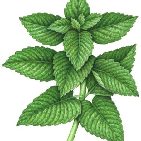 Peppermint Pure Essential Oil Blend