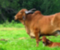 gir-cow-calf-photos.jpg