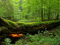 Belavezha Forest (3)
