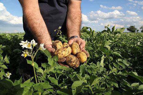 Boer in veld met aardappelen.jpg