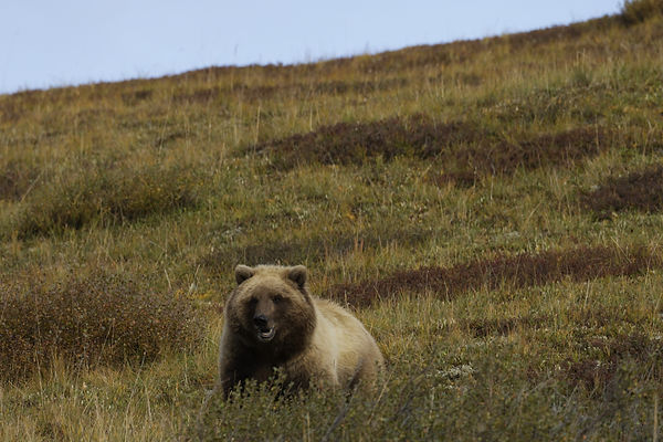 290174756-Tom-grizzly in backcountry.jpe