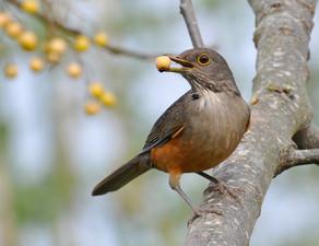 Passarinhada do Embu: Proteção das aves  x Tradições gastronômicas dos imigrantes italianos