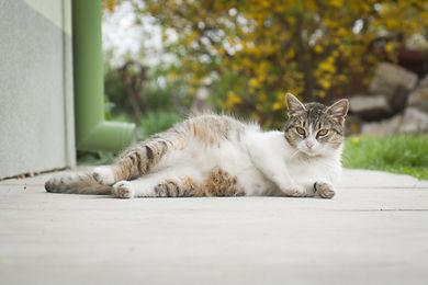 pregnant-cat-laying-down.jpg