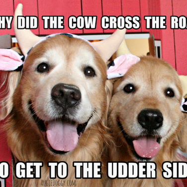 Funny Golden Retriever Cow Joke Postcard