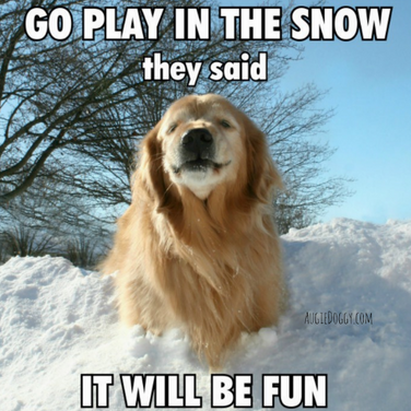 Funny Golden Retriever Go Play in the Snow Meme Postcard
