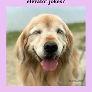 Funny Golden Retriever Dog Elevator Joke Postcard