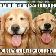 Funny Golden Retriever Hat Joke Meme Postcard