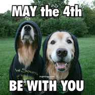 Golden Retriever May the 4th Be With You Star Wars Parody Postcard