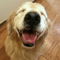Click here for a collection of jokes and memes from golden retrievers Augie and Ti