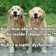 Funny Golden Retriever Reptile Dysfunction Joke Postcard