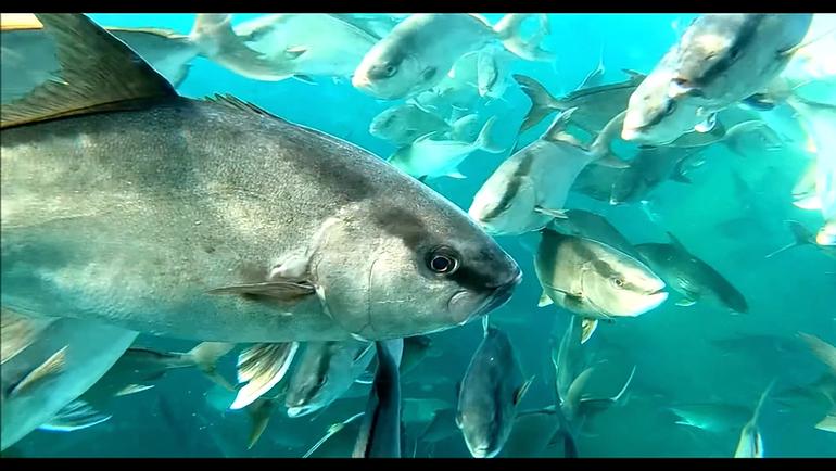 Omega Azul Baja Kanpachi (also known as kampachi, amberjack, or longfin yellowtail) swimming in the Sea of Cortez