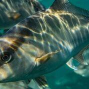 Omega Azul Baja Kanpachi Fish