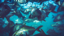 Omega Azul Seafood Baja Kanpachi