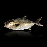 Whole Round Baja Kanpachi fish (also known as kampachi, amberjack, or longfin yellowtail)