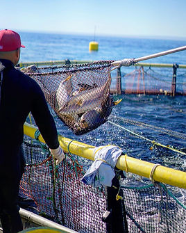Omega Azul Seafood's ASC Certified Baja Kanpachi (also known as Kampachi, Amberjack, or Longfin Yellowtail) being harvested at the farm site in the Sea of Cortez in Baja California Sur, Mexico