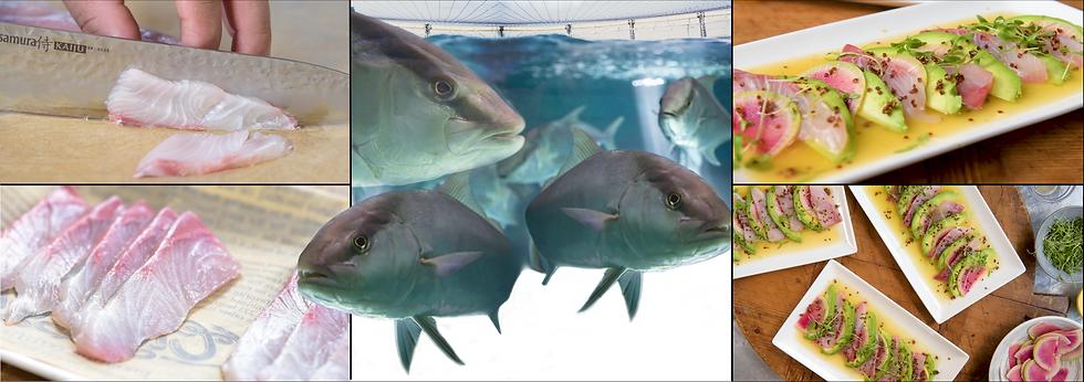 Omega Azul Seafood's Baja Kanpachi (also known as Kampachi, Amberjack, or Longfin Yellowtail)