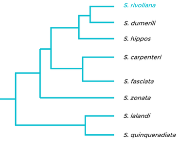 Baja Kanpachi Phylogenetic tree Blue and Grey.png