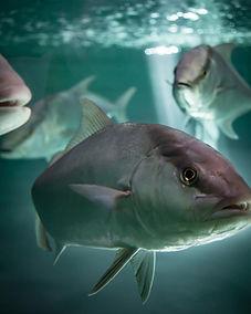 Omega Azul Seafood's ASC Certified Baja Kanpachi (also known as Kampachi, Amberjack, or Longfin Yellowtail)