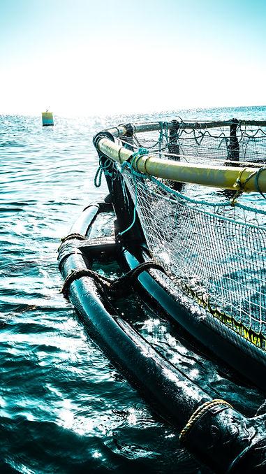 Omega Azul's Baja Kanpachi (also known as kampachi, amberjack, or longfin yellowtail) Open Ocean Pen