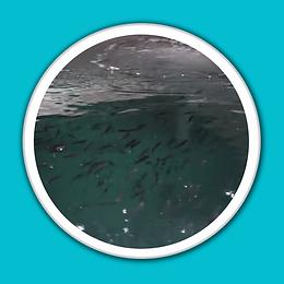 Hatchery fish white porthole blue backgr
