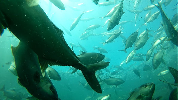 Underwater Photo of Omega Azul Seafood's ASC Certified Baja Kanpachi (also known as Kampachi, Amberjack, or Longfin Yellowtail) farm site in the Sea of Cortez in Baja California Sur, Mexico