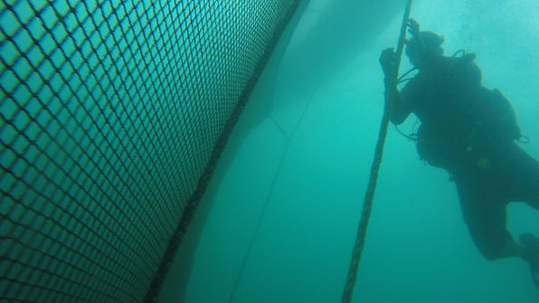Underwater Photo of Diver Working at Omega Azul Seafood's ASC Certified Baja Kanpachi (also known as Kampachi, Amberjack, or Longfin Yellowtail) farm site in the Sea of Cortez in Baja California Sur, Mexico