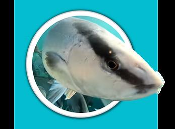 Baja Kanpachi swimming through white por