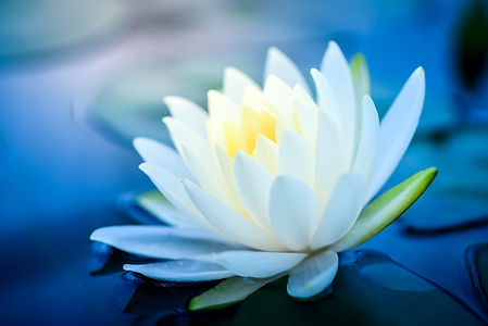 beautiful  White Lotus Flower with green
