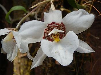 rynchostelle cervantessi Mexican orchid Valle de Bravo