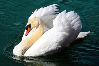 swan-2270980_1280.jpg