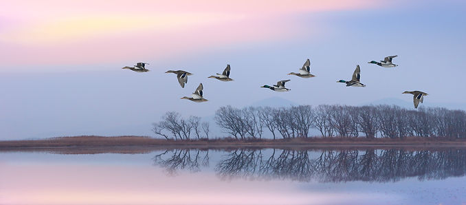 Flying ducks against an evening landscap