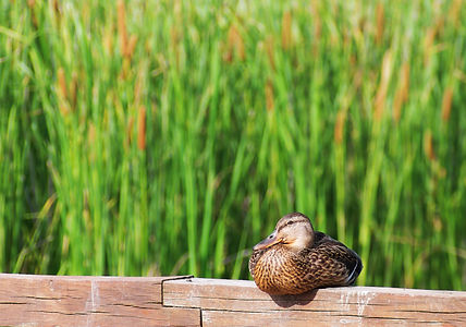 Mallard duck female with cattails backgr