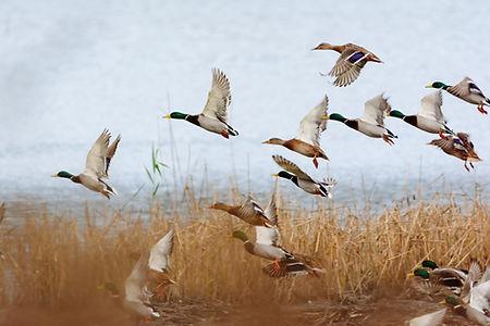 Mallard duck flying over the lake.jpg