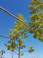 Quatre branches bandol.png