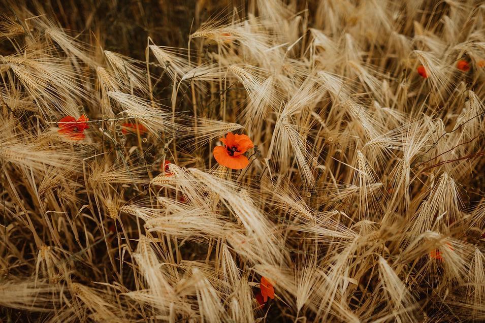 les champs de blé à coté du chateau