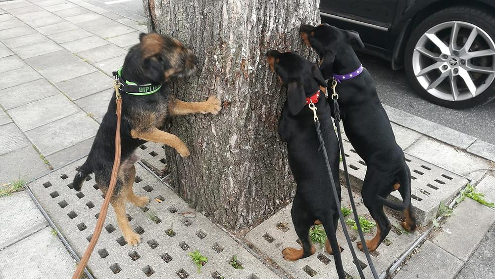 DiplomathundenAslan och Pinchervalpar