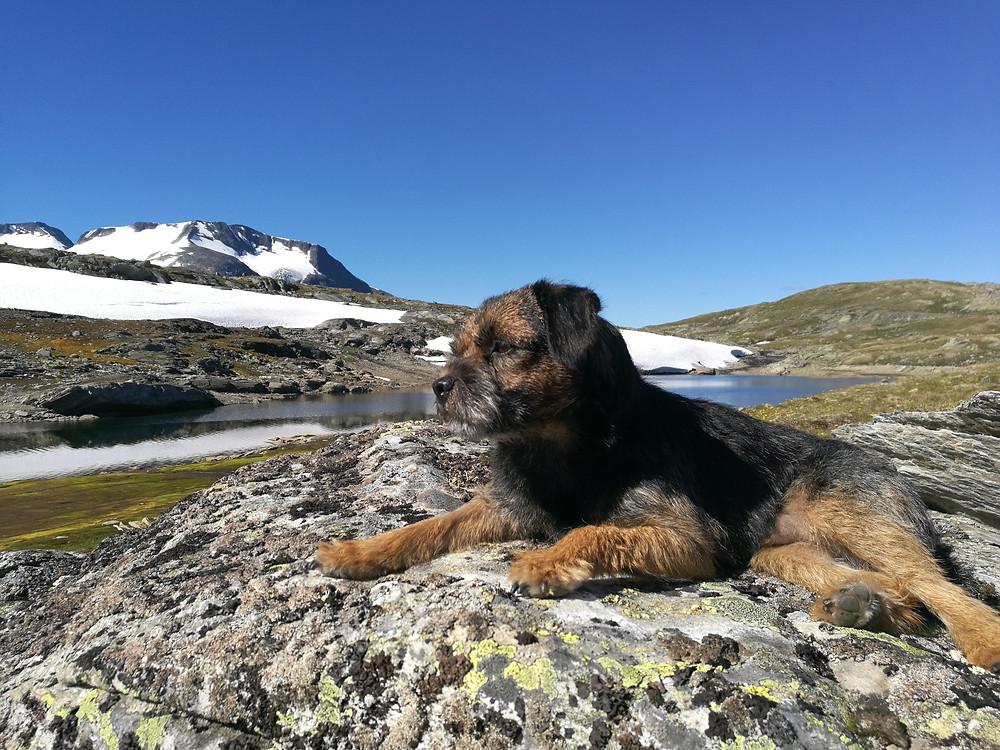 Diplomathunden Aslan blickar ut över Jotunheimen