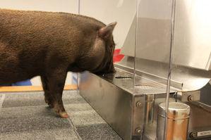 Specialsök i Stockholm. Kantarellsökande gris