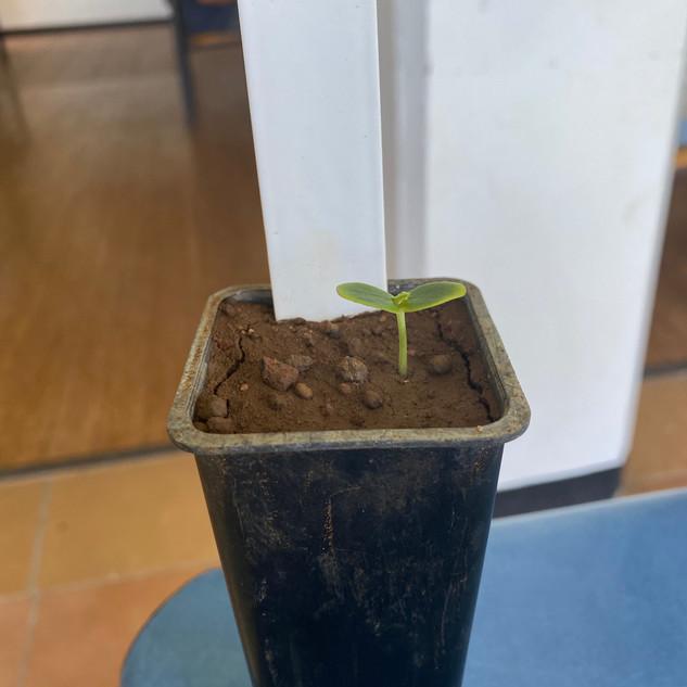 Innisfail.Seedling.jpg
