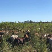 Goshen NA Grazing.cows.jpg