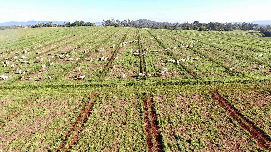 Malanda Redlands first graze.jpg