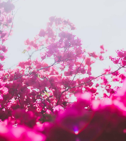 Pink Flare