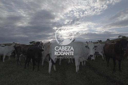 VD0233 - GANADO