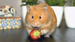 Hamster%20Tiphaine%20Mainge_edited.jpg