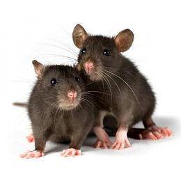 x-5-rats-domestiques-vivants-250g-caisse
