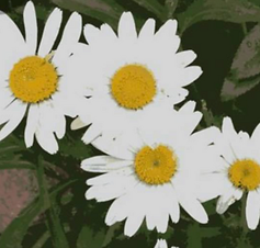 A Daisy A day.png