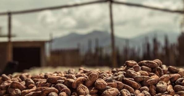sonnengetrocknete Kakaobohnen